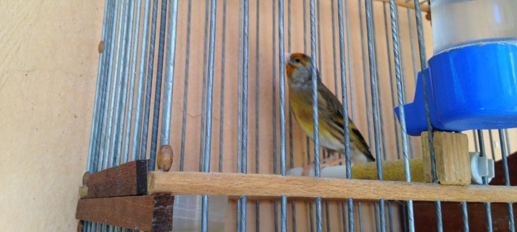 The caged bird sings on Souk El Kebir in Marrakesh.