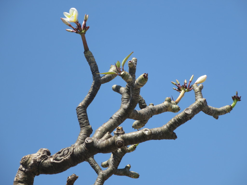 Frangipani tree in the courtyard of the Hanuman Temple, Hampi, India.