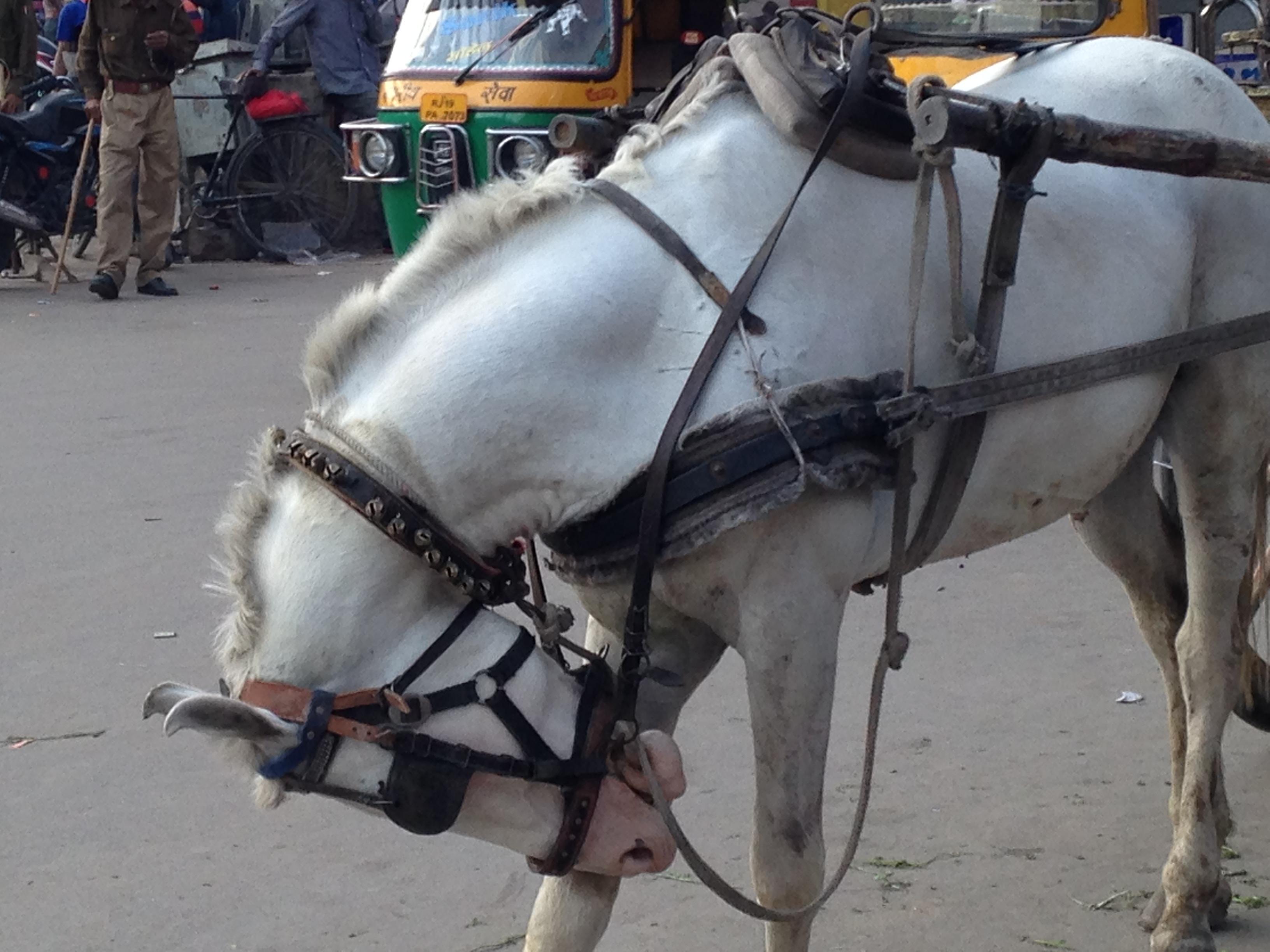The Same Marwari Horse Scratching His Foreleg