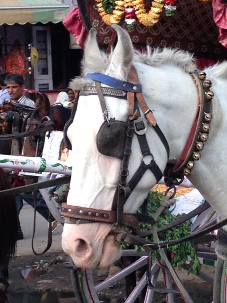 White Marwari Horse With Twisted Ears