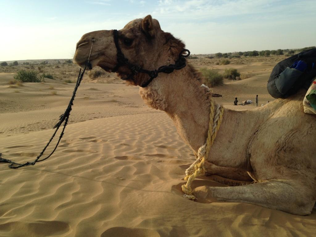 Kneeling Camel, Near Jaisalmer