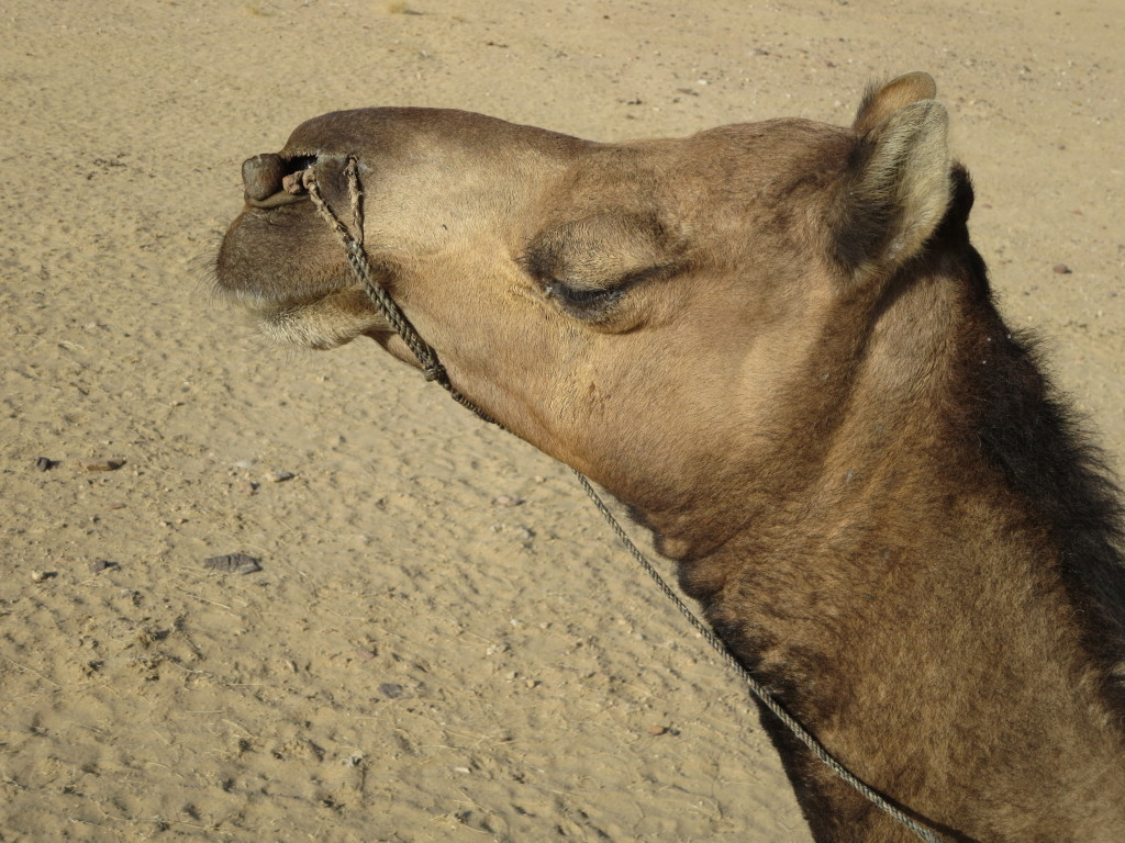 Camel Head Showing Reins