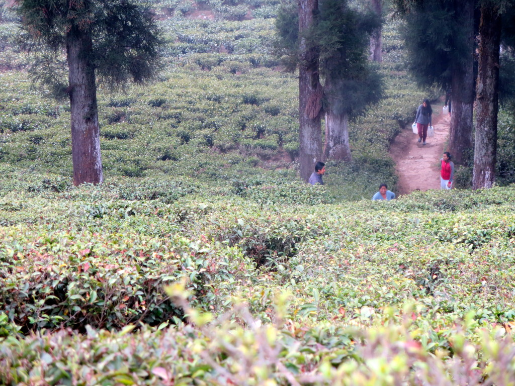 Happy Valley Tea Estate, Darjeeling, India.