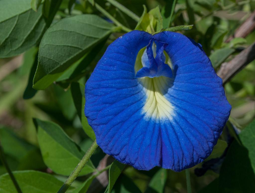 The Butterfly Pea Flower Used in Nasi Kerabu